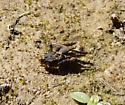 Tetrix ornata  - Paratettix mexicanus - male - female