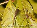 5016891 dragonfly - Sympetrum vicinum