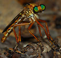 robber fly - Diogmites salutans