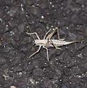 Unknown light Orthopteran, katydid? - Idiostatus apollo