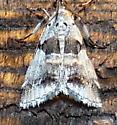 9/20/18 moth - Tallula atrifascialis