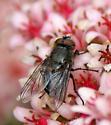 Muscidae or Calliphoridae? - Pollenia - male