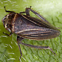 Leafhopper IMG_0092 - Aphrodes - male