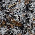 BeetleTBID06122014 - Ellipsoptera hirtilabris