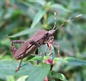 Coreid - Leptoglossus gonagra