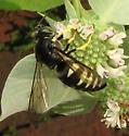 Wasp 2 - Bicyrtes quadrifasciatus