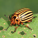 Colorado Potato Beetle - Leptinotarsa decemlineata