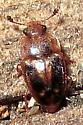 Small beetle - Epuraea