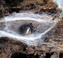 Kibramoa madrona - female