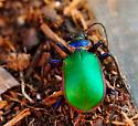 Green & Blue Beetle - Calosoma scrutator