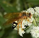 Cicada Killer - Sphecius speciosus