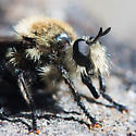 Robber Fly from the Sierra Nevada - Laphria astur