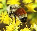 Bombus ternarius - Tricolored Bumble Bee - Bombus ternarius
