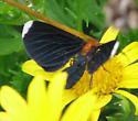 Strange Moth - Melanchroia chephise