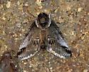 Small Baileya   - Baileya australis