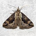 Baltimore Hypena - Hodges#8442 - Hypena baltimoralis