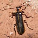 Soldier beetle 2009.05.21 - Podabrus basillaris