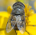 brown-faced syrphid - Copestylum isabellina - female