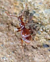 Small red ant-like beetle with short elytra - Batrisodes