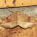Curve-toothed Geometer Moth - Eutrapela clemataria