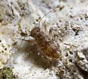 bug nymph - Stimulopalpus japonicus