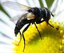 dark tachnid? fly with pointed abdomen - Leucostoma - female