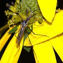 Elephant Mosquito - Toxorhynchites rutilus - male