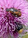 Beetles on Texas Thistle - Euphoria kernii