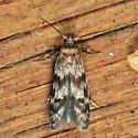 moth - Asaphocrita aphidiella