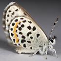 Small Blue Butterfly - Euphilotes bernardino
