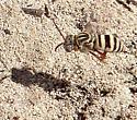 Is this Epeolus minimus?