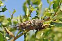 Cicada on Coyote Brush - Okanagana