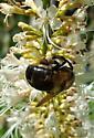 large bee - Xylocopa virginica - female
