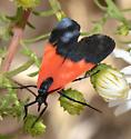 orange and black moth? - Lycomorpha pholus