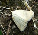 Pale Lithacodia Moth - Protodeltote albidula
