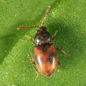 Silken Fungus Beetle - Atomaria ephippiata