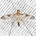 Predatory Fungus Fly  - Macrocera - male