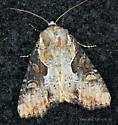 Noctuidae - Lateroligia ophiogramma