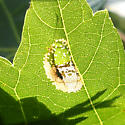 Silver Maple Leaf Mine ID Request - Phyllonorycter