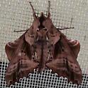 Sphingidae: Paonias excaecata? - Paonias excaecata