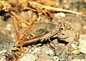 Mantis - Litaneutria pacifica - male
