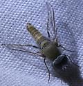 Aphoebantus sp. - Aphoebantus
