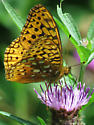 Aphrodite Fritillary or Great Spangled Fritillary ? - Speyeria aphrodite