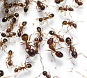 Huge Variety of Color, Size, and Stripe Combos - Camponotus subbarbatus