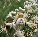 crab spider - Misumenoides formosipes