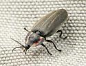Ellychnia to ID - Ellychnia corrusca
