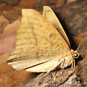 Nocturnal Butterfly - Prochoerodes lineola