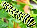 Caterpillar  - Papilio polyxenes