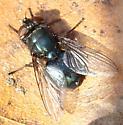 Blow Fly - Phormia regina - female
