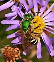 Agapostemon? Species? - Agapostemon virescens - female